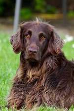 The German Longhaired Pointer Dog Journal