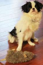 The Japanese Chin Dog Journal