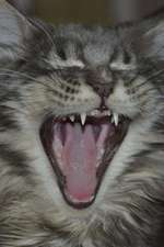 "Maine Coon Cat Journal ""Singing the Song of My People - Stray Cat Strut!"""