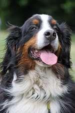 Bernese Mountain Dog Portrait Journal