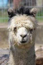 Simply Adorable Fluffy Alpaca Vicugna Pacos Journal