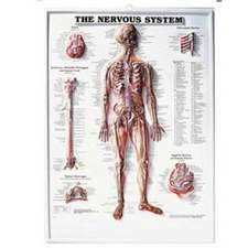 The Nervous System 3D Raised Relief Chart