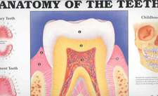 Anatomy of the Teeth Wall Chart