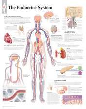 The Endocrine System Chart: Laminated Wall Chart