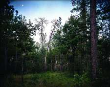 Pine: The Southern Forest